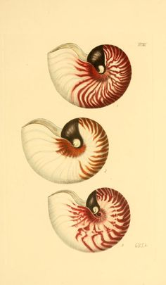 Nautilus stenomphalus. From v. 2 (1855) - Thesaurus conchyliorum, or, Monographs of genera of shells / - Biodiversity Heritage Library