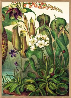 Dangerous Beauty Insectivorous plants may look beautiful but to insects they are deadly. Botanical Drawings, Abstract Drawings, Animal Drawings, Art Drawings, Botanical Flowers, Botanical Prints, Lilies Flowers, Exotic Flowers, Flowers Garden