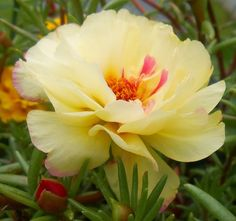 Yellow and Pink Portulaca