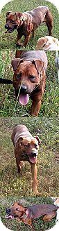 Chantilly, VA - Rottweiler/Shepherd (Unknown Type) Mix. Meet Wiggle, a dog for adoption. http://www.adoptapet.com/pet/17248285-chantilly-virginia-rottweiler-mix
