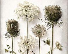 Queen Anne's Lace Flower Print  Fine Art Photography