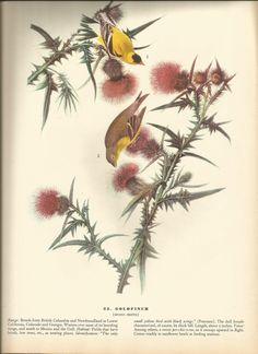 Original Vintage 1937 John James Audubon Birds of America Bookplate Print Bird Print 33 Gold Finch and 34 Worm Eating Warbler on Etsy, $4.60