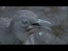 Lyrebird mimics construction sounds - YouTube