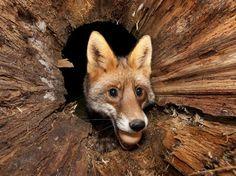 Jegen ainda registou o momento em que uma raposa pega um ovo no quintal de sua casa. O fotógrafo alemão montou uma armadilha que foi disparada quando o animal pegou o ovo Foto: The Grosby Group