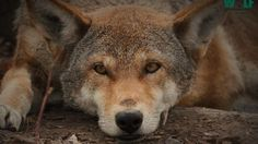 Red Wolves are highly endagered...only 50 left.    In 1968, the US fish and wildlife service (USFWS) captured all of the last 7 red wolves and put them in captive breeding programs. Then when they had pups the USFWS released them gradually in to Alligator River National Park. This is the Red Wolf...