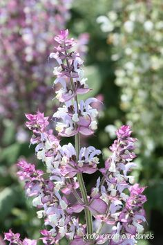 CLARY SAGE SEEDS, Organic ,Salvia sclarea ,Borders and Beds, Wildlife Gardens, Cut or Dried Flowers. Medicinal or tea herb, Culinary herb.