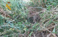 La Guardia Civil denuncia a dos personas que emplearon medios prohibidos para dar muerte a un jabalí  La captura se realizó con lazos de acero no autorizados y en terreno no cinegético  http://laoropendolasostenible.blogspot.com/2016/09/la-guardia-civil-denuncia-dos-personas.html