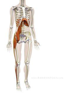 The Daily Bandha: Sankalpa, Visualization and Yoga: The Diaphragm-Psoas Connection. Figure Myofascial connections between the diaphragm, psoas and lower extremity. Yoga Nidra, Yoga Sequences, Yoga Poses, Psoas Release, Psoas Muscle, Muscle Anatomy, Pranayama, My Yoga, Injury Prevention