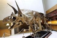 Triceratops Available to the Highest Bidder - Three-horned Face up for Auction