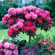 Rhododendron Standard - Patio Plants - Van Meuwen