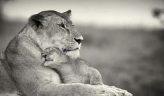 Lion mother.