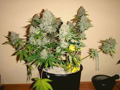 Bubblelicious: Flowering - Day 64 Picture - Weedportal Share