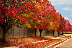 Bradford pear trees in the fall season. These trees are beautiful all year long!