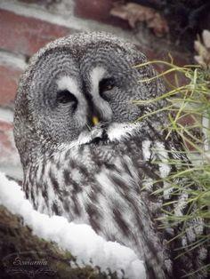 Puszczyk mszarny / Great grey owl / Strix nebulosa
