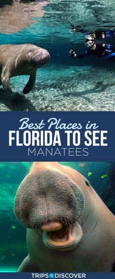 Known as Florida's gentle giants, spotting a manatee in their natural habitat is truly a once-in-a-lifetime experience. Florida Vacation, Florida Travel, Florida Beaches, Vacation Wishes, Vacation Ideas, Naples Florida, Melbourne Florida, Clearwater Florida, Tampa Florida