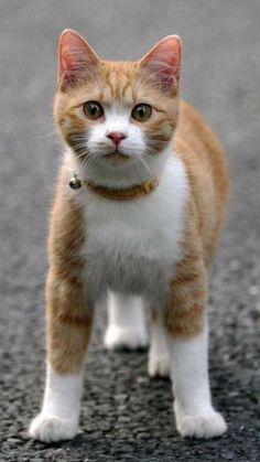 I'm showing my cattitude #cat #tabby #orangecat