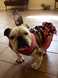 Bessie - and disgruntled cat! From: http://www.thepetmatchmaker.com/something-special-pets-mickey-the-bulldog-padded-bum-crew/