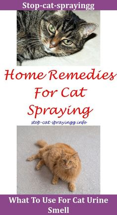 Cat Keeps Spraying Cat Peeing On Couch,how to get rid of cat pee smell on bed.Cat Urine Prevention How To Train A Cat Cat Pee Hardwood Floor Female Cat Spraying After Being Spayed Cat Urine Remover Cleanses,pet pee spray cat pee on bed kitty how to get rid of cat urine cat pee humor bathroom how to neutralize cat urine smell - cat health. #cathealthcleanses