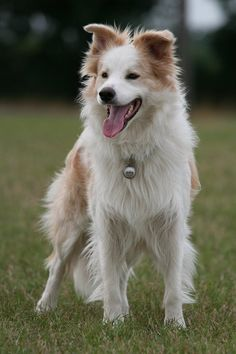 Australian red and white border collie