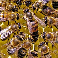 Royal jelly is a gelatinous substance produced by honey bees to feed the queen bees and their young. Here are 12 potential benefits of royal jelly. Sea Wallpaper, Animal Wallpaper, Wallpaper Desktop, Royal Jelly Benefits, Bee Facts, Bee Family, Le Pollen, Save The Bees, Bees Knees