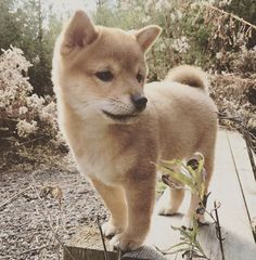 I think if I got one Shiba Inu puppy, it would just make me one more. Give me all the Shibas! Shiba Inu, Shiba Puppy, Cute Baby Animals, Animals And Pets, Cute Puppies, Dogs And Puppies, Corgi Puppies, Pet Dogs, Dog Cat