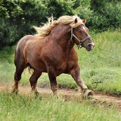 Ardennes draft horse stallion running. He's gorgeous! I've got a new favorite breed.