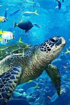 beautiful sea turtle ▓█▓▒░▒▓█▓▒░▒▓█▓▒░▒▓█▓ Gᴀʙʏ﹣Fᴇ́ᴇʀɪᴇ ﹕ Bɪᴊᴏᴜx ᴀ̀ ᴛʜᴇ̀ᴍᴇs ☞ www. Cute Turtles, Sea Turtles, Baby Turtles, Fauna Marina, Tortoise Turtle, Water Animals, Turtle Love, Underwater Life, Ocean Creatures