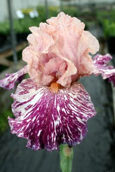 'Anaconda Love' Iris