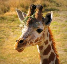 Baby Giraffe by Sandra Leidholdt, via Flickr