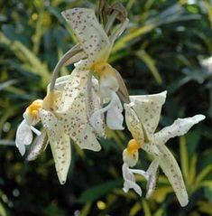 Stanhopea panamensis N.H. Williams & W.M. Whitten, Panama, Kolumbien