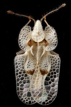 The Tingidae are a family of very small (0.08–0.39 in) insects in the order Hemiptera that are commonly referred to as lace bugs. This group is distributed worldwide with about 2,000 described species. 1. Azalea Lace Bug2. Sycamore Lace Bug3. Rhododendron Lace Bug, Hawthorn Lace Bug
