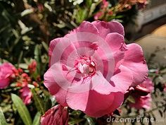 The oleander is a poisonous evergreen Old World shrub that is widely grown in warm countries for its clusters of white, pink, or red flowers.