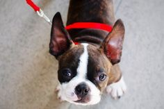 symptoms of an ear infection in dogs _ boston terrier with big ears and a red harness