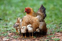 Week in wildlife: A hen warms her chicks in the rain on the outskirts of Bangkok  (via the guardian)