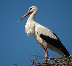 White stork - the most Polish of all Polish birds :-). 25% of European population lives in my lovelly country