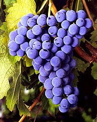 CABERNET FRANC  is one of the major red grape varieties worldwide. It is principally grown for blending with Cabernet Sauvignon and Merlot in the Bordeaux style, but can also be vinified alone, as in the Loire's Chinon. In addition to being used in blends and produced as a varietal in Canada and the United States it is made into ice wine there.