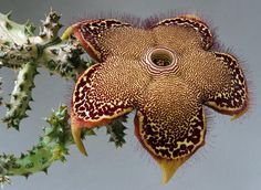 Edithcolea grandis - Flickr - Photo Sharing!