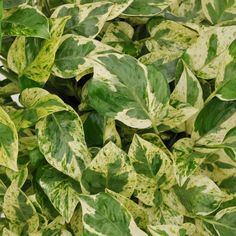 Epipremnum aureum 'N' Joy' - Devil's Ivy, Pothos