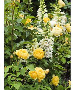 One of my favourites.. David Austin's Graham Thomas ...#yellow#rose#davidaustin…