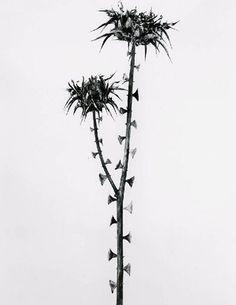 Joan Fontcuberta . guillumeta polymorpha, da série herbarium, 1982