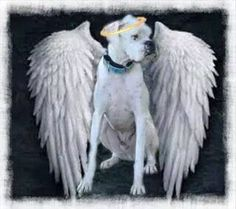 Boxer Baby Girl Angel I'll miss you forever till we are together again‼️