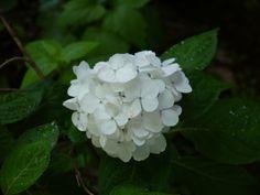 山紫陽花「白花紫陽花」