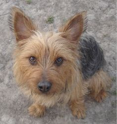 My Yorkie Acts Like A Cat