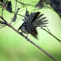 A little Grey Fantail spreading his wings.Photo taken south of Perth,Western Australia at the Alcoa Wetlands .Image taken with a Nikon Body Art Tattoos, Sleeve Tattoos, Fan Out, Aboriginal Art, Bird Art, Amazing Nature, Tattoo Inspiration, Wonders Of The World, Art Projects