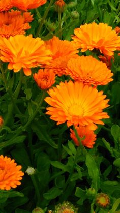 Měsíček lékařský Měsíček je samozřejmě jedna z nej …. pěstovaných a používaných bylinek našich babiček. Je to opravdu velice silná a účinná bylinka, i když se mi zdá, že je opomíjená. Na druhou stranu je bezpečná, neobsahuje žádné toxiny a tak ji mohou bez obav používat všechny věkové kategorie. Oranžové, čerstvé květy sbírejte za suchého…