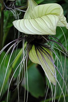 Long wet purple filaments of parachute-like exotic tropical flower... Dracula Flower by jungle mama, via Flickr