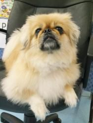 Lady is an adoptable Pekingese Dog in Cedar Rapids, IA. LADY is a 13.8 lb., 3-year-old love bug. We took her into our care when her elderly owner went into a nursing home in Illinois. Her granddaughte...