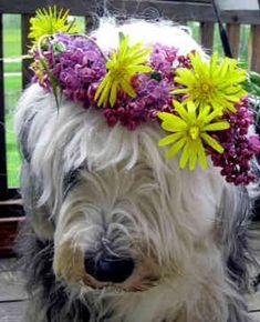 Old English Sheepdog   Beautiful