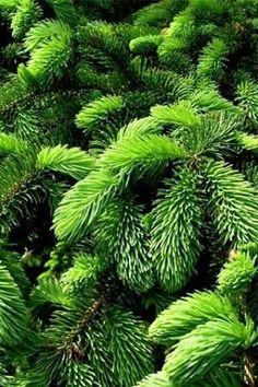 Green pine needles   ᘡℓvᘠ □☆□ ❉ღ happily // ✧彡●⊱❊⊰✦❁❀‿ ❀ ·✳︎· TUE MAR 21 2017 ✨ ✤ॐ ✧⚜✧ ❦♥⭐ ♢∘❃ ♦♡❊ нανє α ηι¢є ∂αу ❊ღ༺✿༻✨♥♫ ~*~ ♆❤ ☾♪♕✫❁✦⊱❊⊰●彡✦❁↠ ஜℓvஜ .