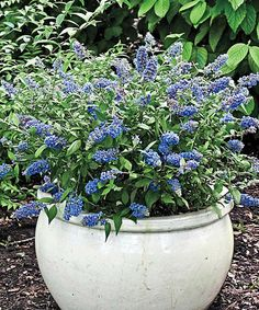 Love this Blue Chip Butterfly Bush Lo & Behold Plant on #zulily! #zulilyfinds These really do a track butterflies.